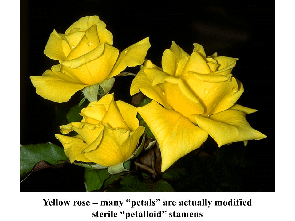 Yellow rose – many petals are actually modified