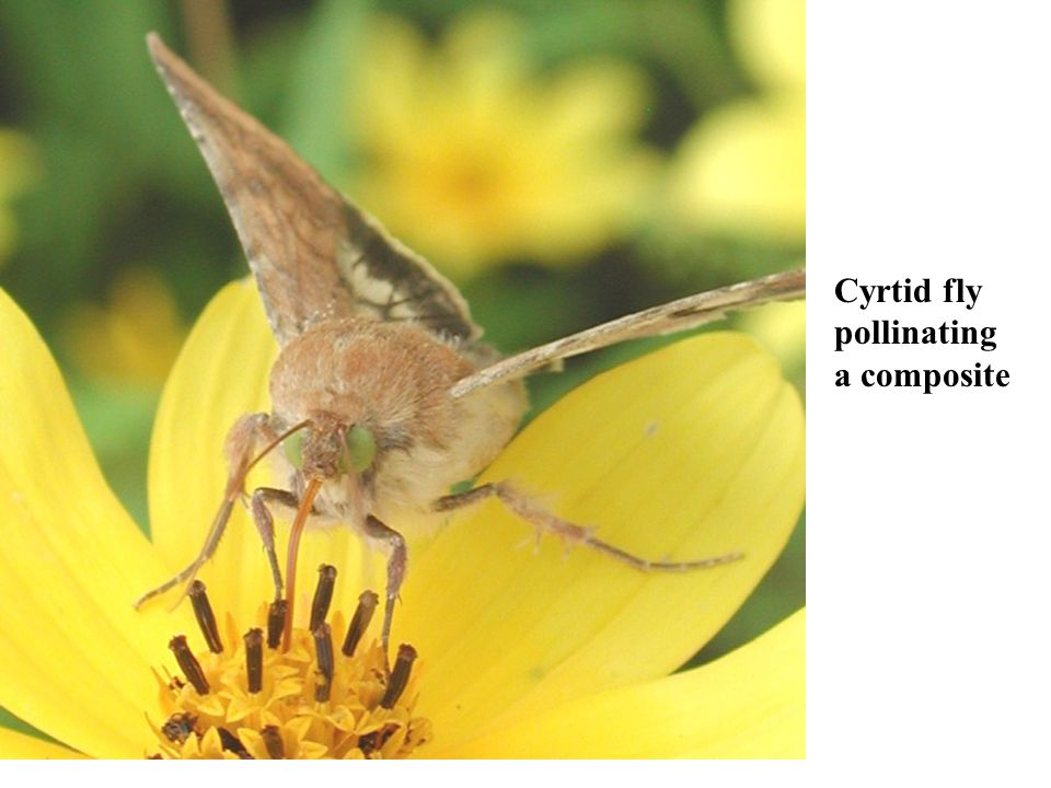Cyrtid fly pollinating a composite