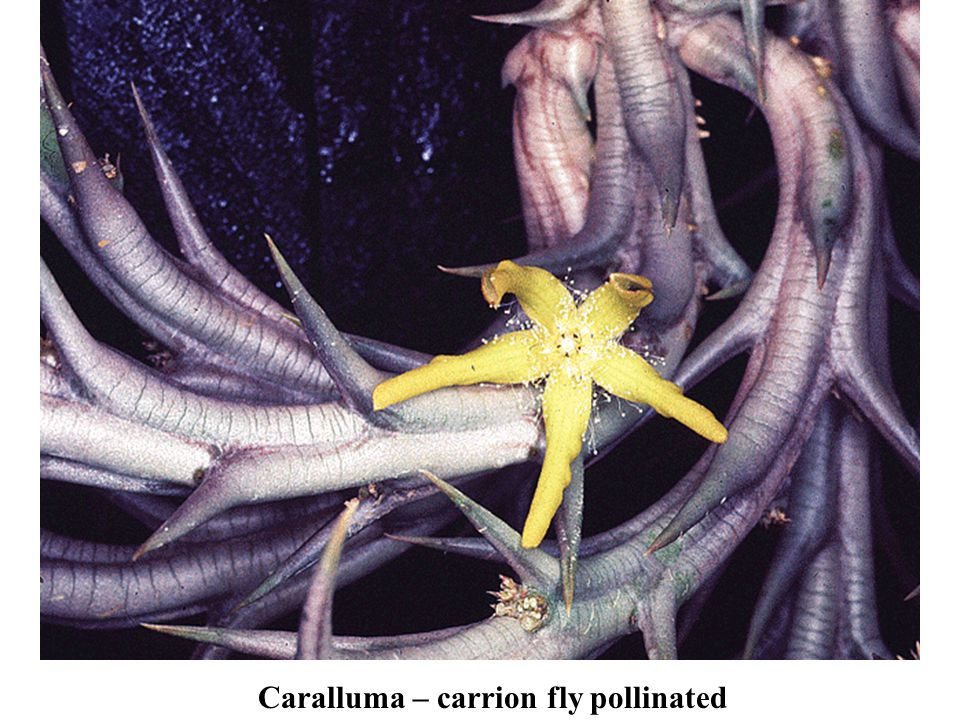Caralluma – carrion fly pollinated