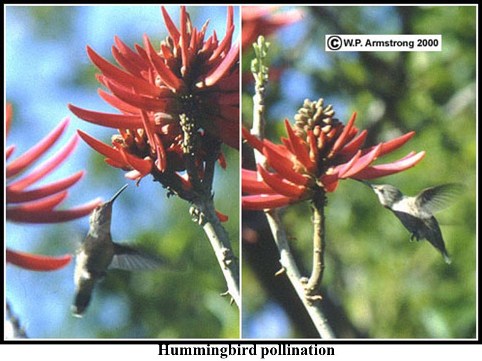 Hummingbird pollination