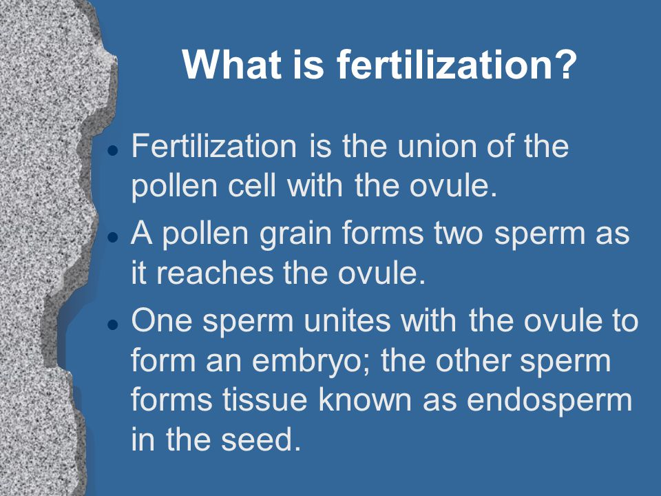 What is fertilization Fertilization is the union of the pollen cell with the ovule. A pollen grain forms two sperm as it reaches the ovule.