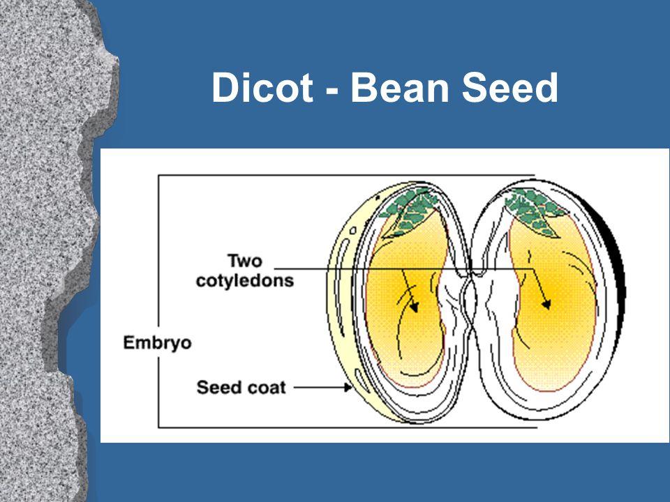 Dicot - Bean Seed