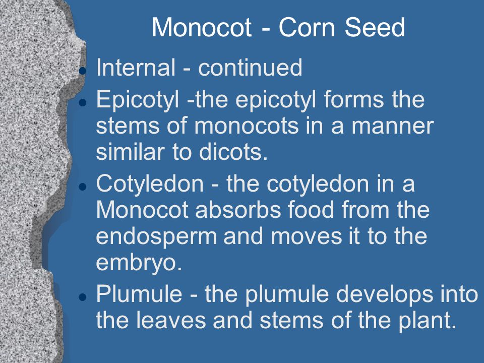 Monocot - Corn Seed Internal - continued