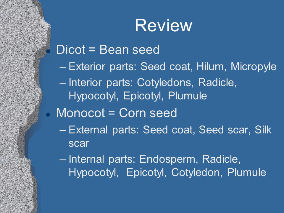 Review Dicot = Bean seed Monocot = Corn seed