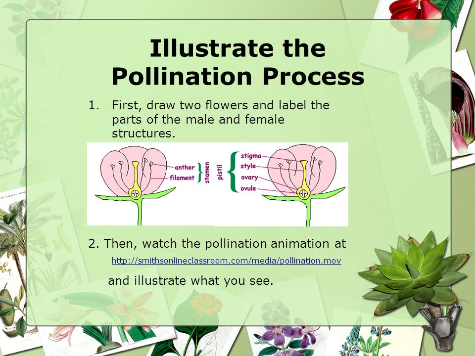 Illustrate the Pollination Process