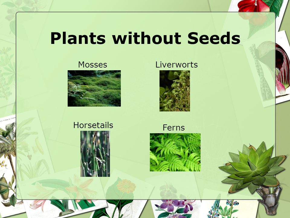 Plants without Seeds Mosses Liverworts Horsetails Ferns