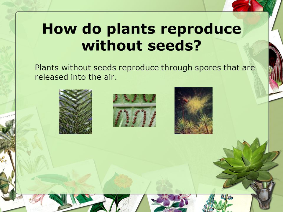 How do plants reproduce without seeds