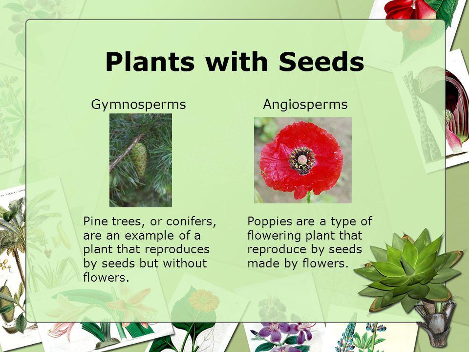 Plants with Seeds Gymnosperms Angiosperms