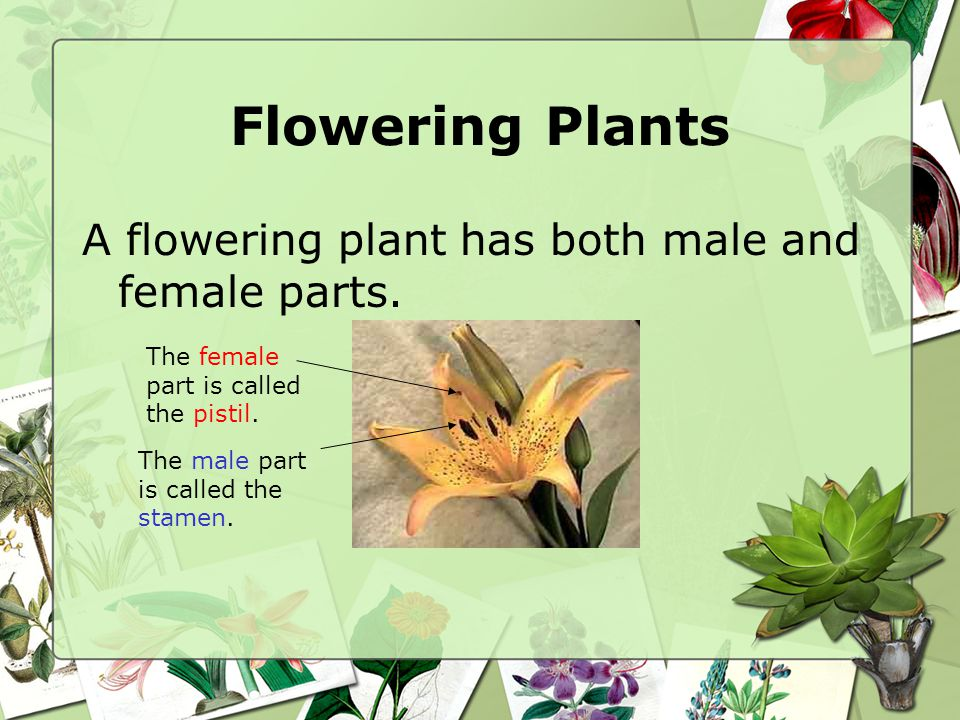 Flowering Plants A flowering plant has both male and female parts.