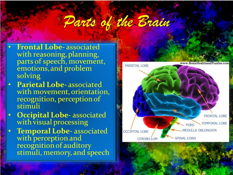Parts of the Brain Frontal Lobe- associated with reasoning, planning, parts of speech, movement, emotions, and problem solving.