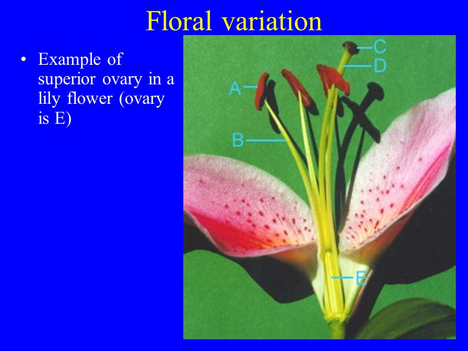 Floral variation Example of superior ovary in a lily flower (ovary is E)