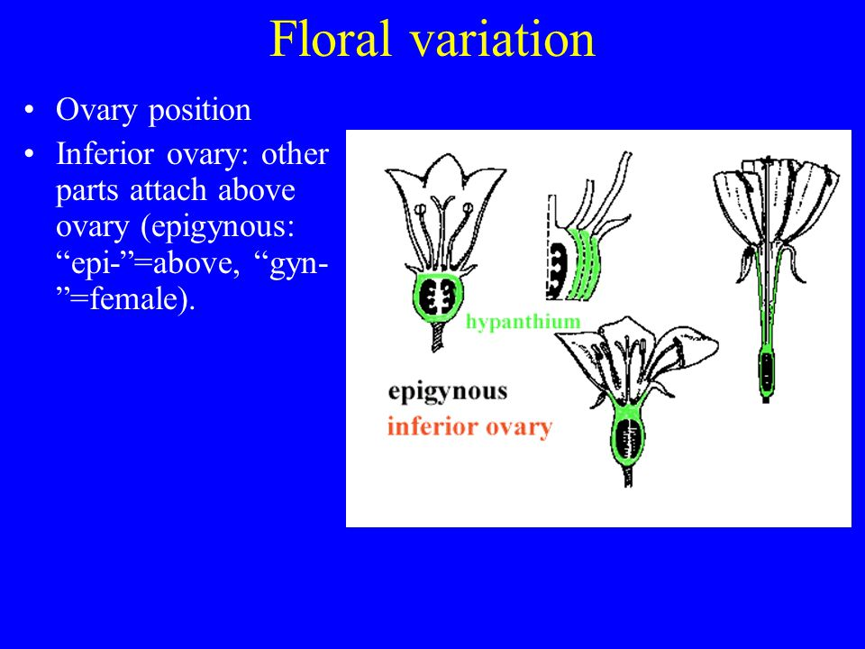 Floral variation Ovary position