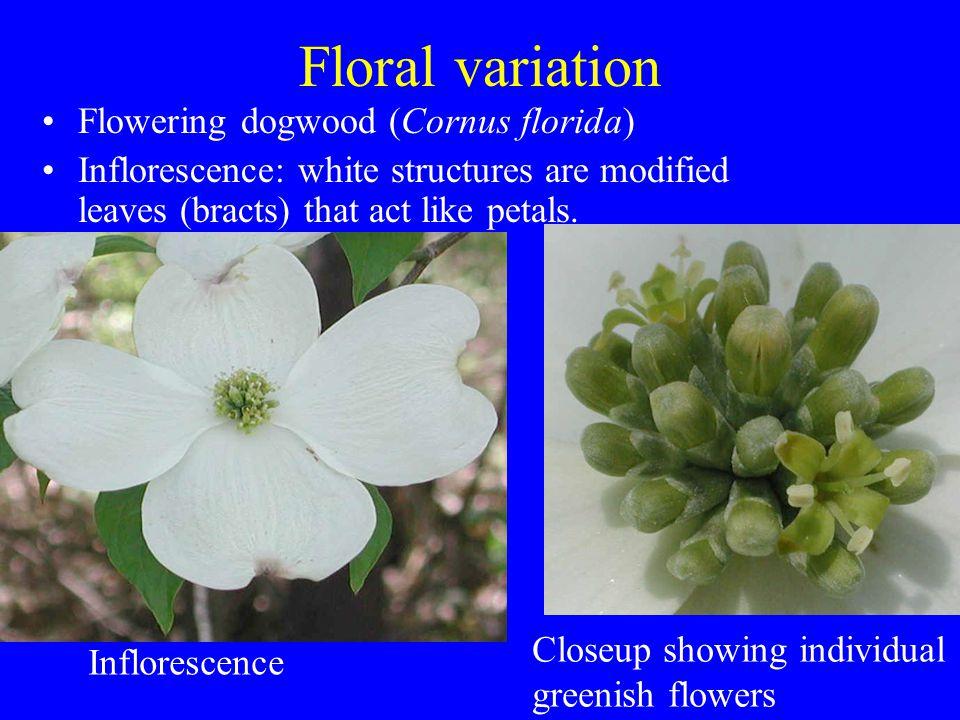 Floral variation Flowering dogwood (Cornus florida)