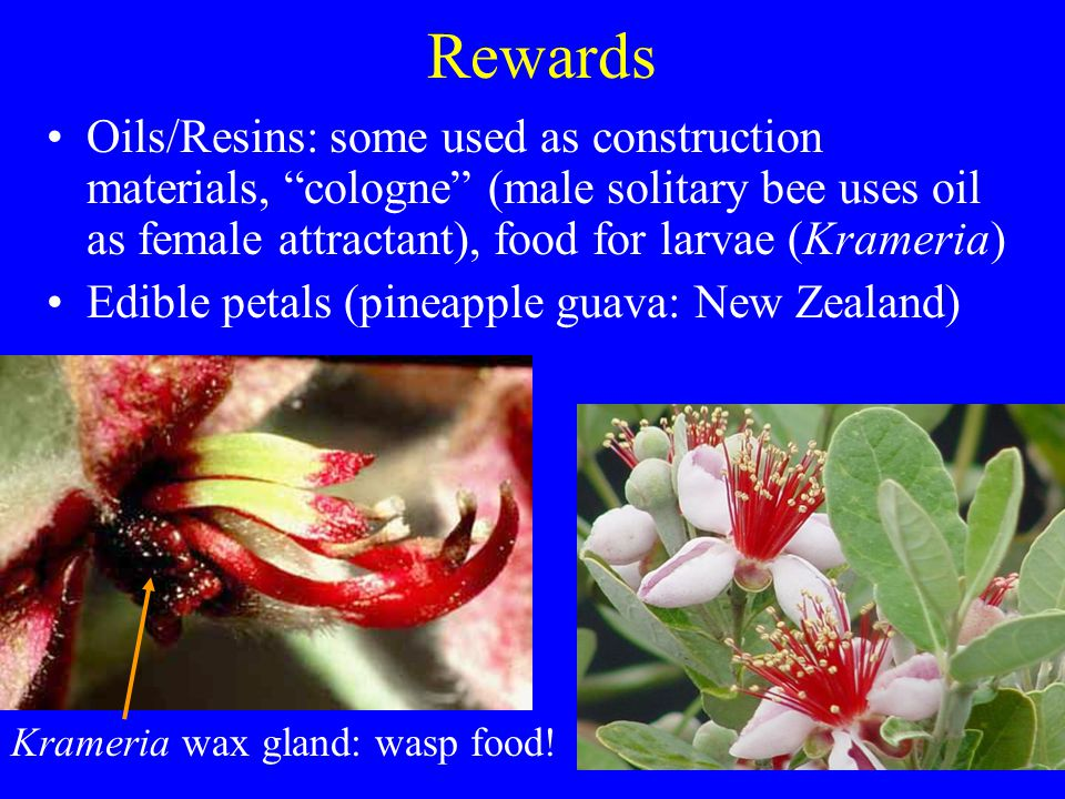 Rewards Oils/Resins: some used as construction materials, cologne (male solitary bee uses oil as female attractant), food for larvae (Krameria)