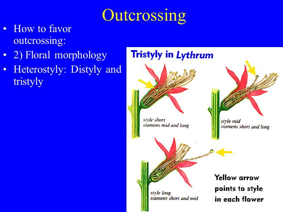 Outcrossing How to favor outcrossing: 2) Floral morphology
