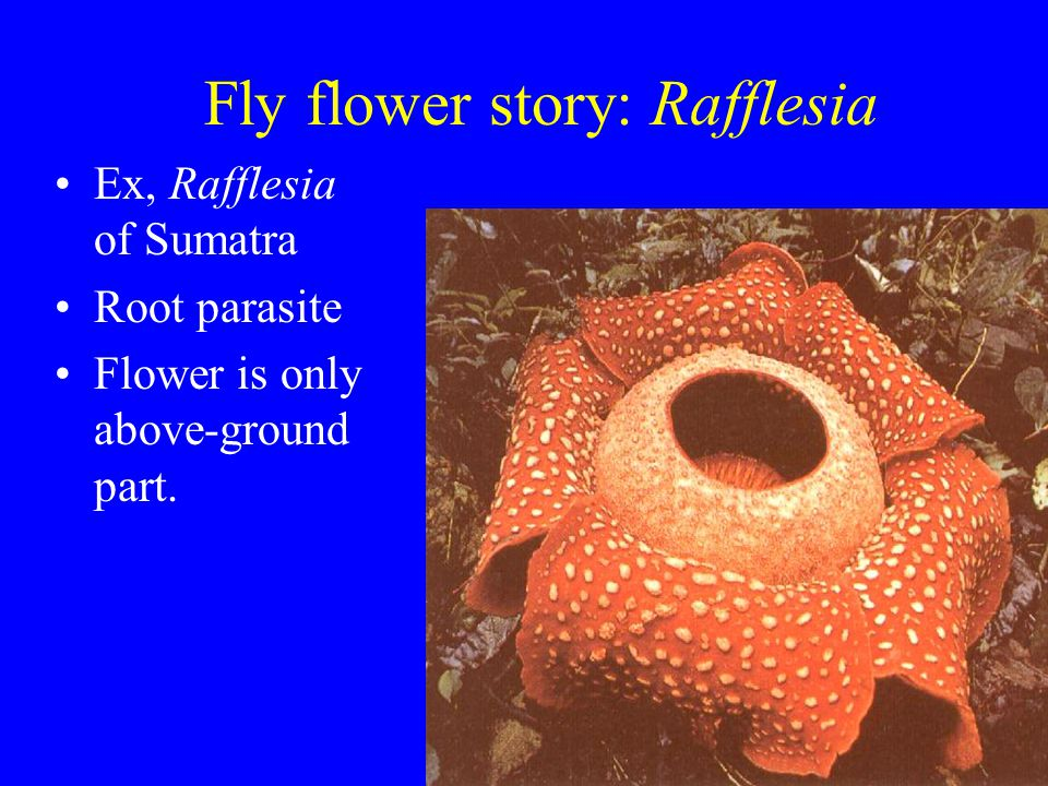 Fly flower story: Rafflesia