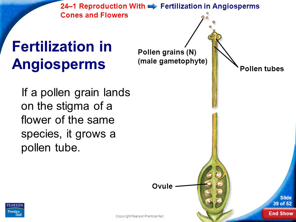 Fertilization in Angiosperms