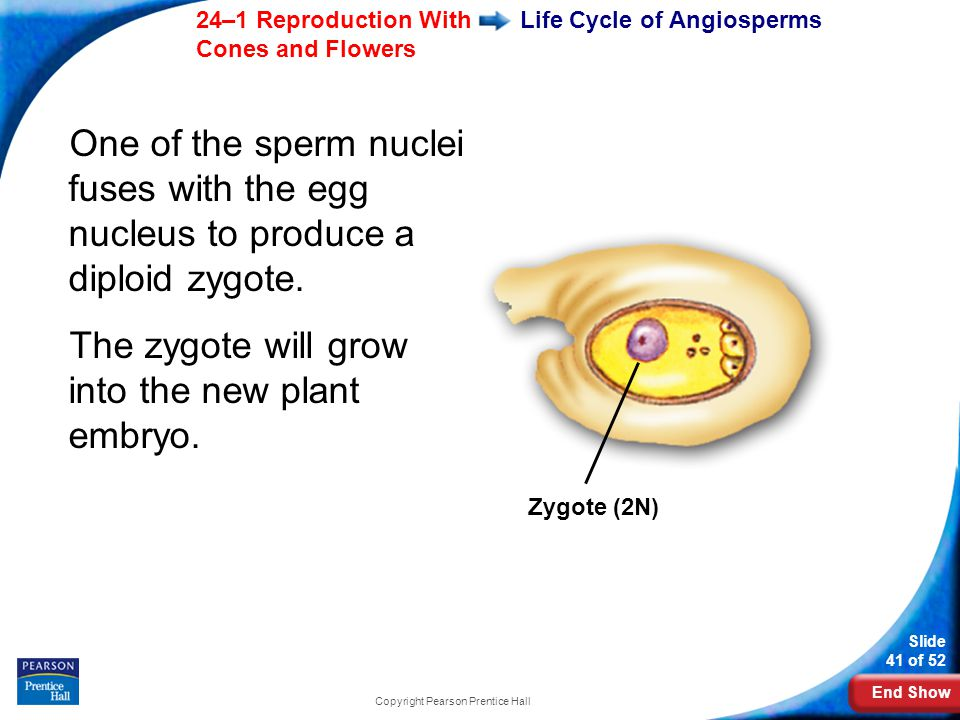 Life Cycle of Angiosperms