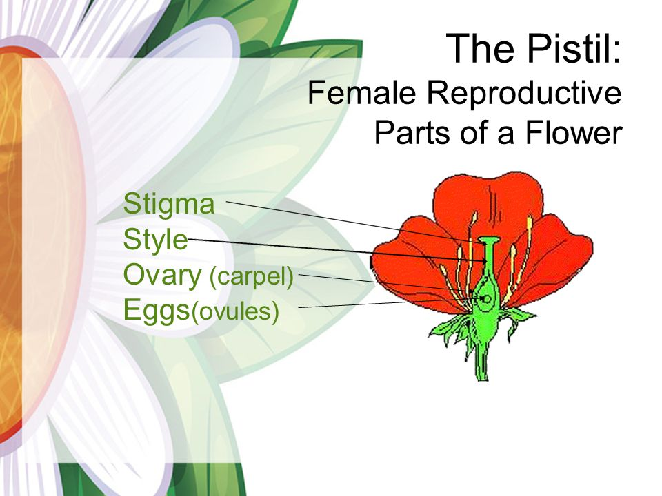 The Pistil: Female Reproductive Parts of a Flower