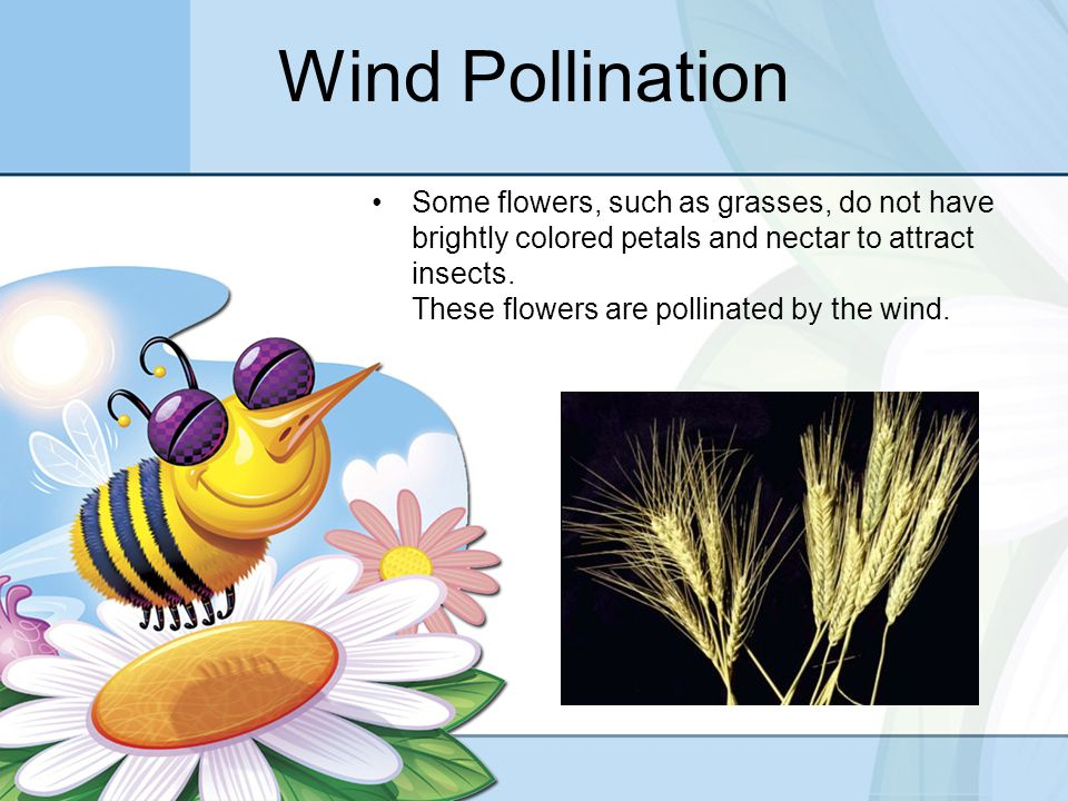 Wind Pollination Some flowers, such as grasses, do not have brightly colored petals and nectar to attract insects.
