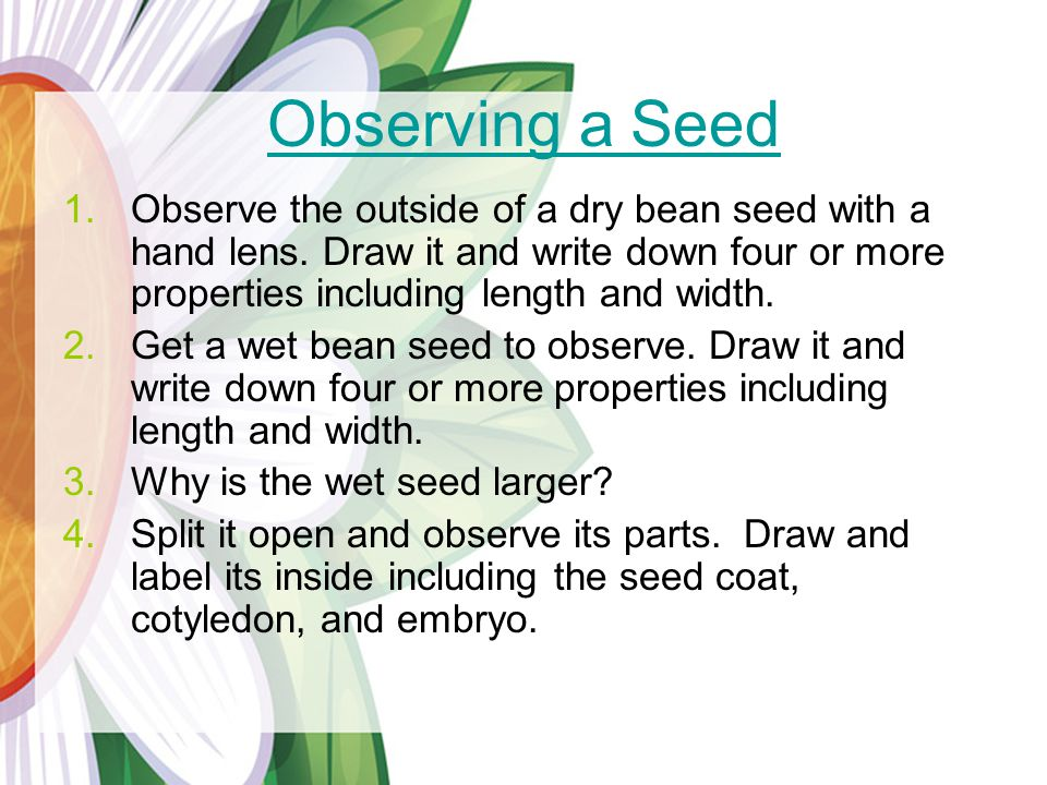 Observing a Seed Observe the outside of a dry bean seed with a hand lens. Draw it and write down four or more properties including length and width.