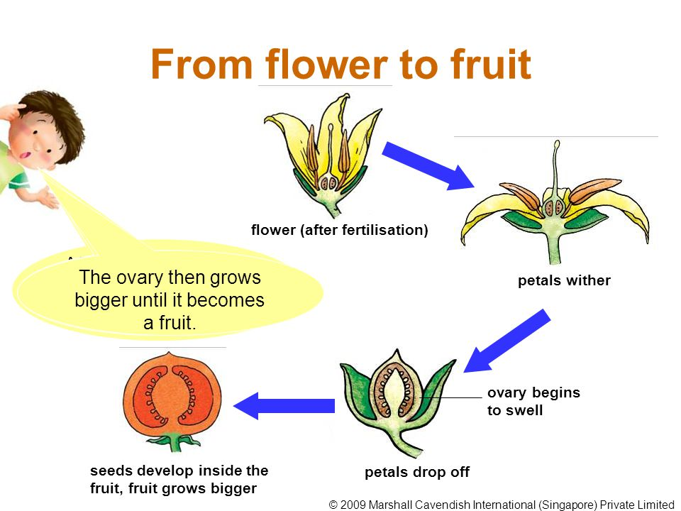 From flower to fruit flower (after fertilisation) After fertilisation, most of the flower parts wither and drop off except for the ovary.