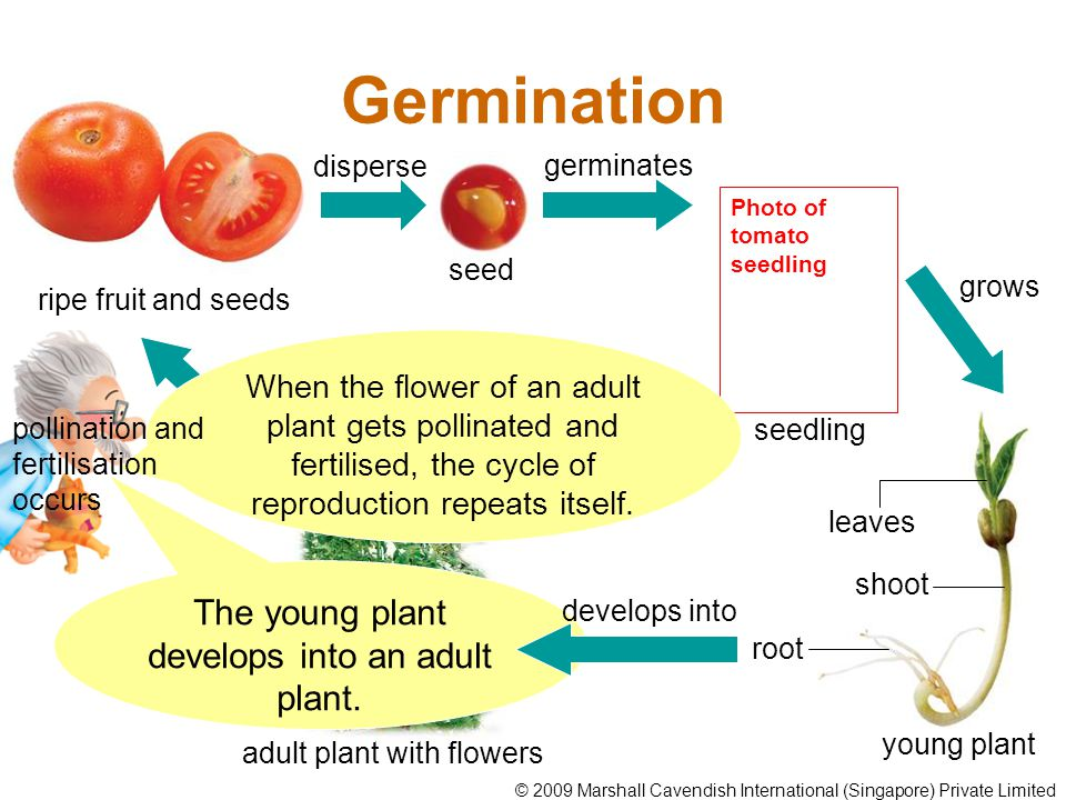 The young plant develops into an adult plant.