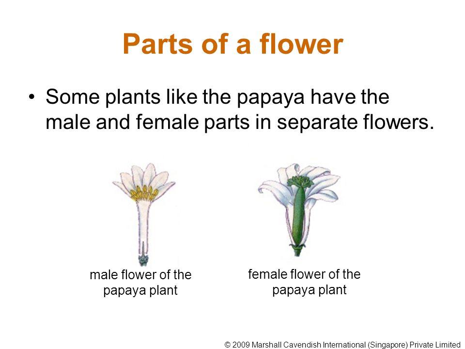 male flower of the papaya plant
