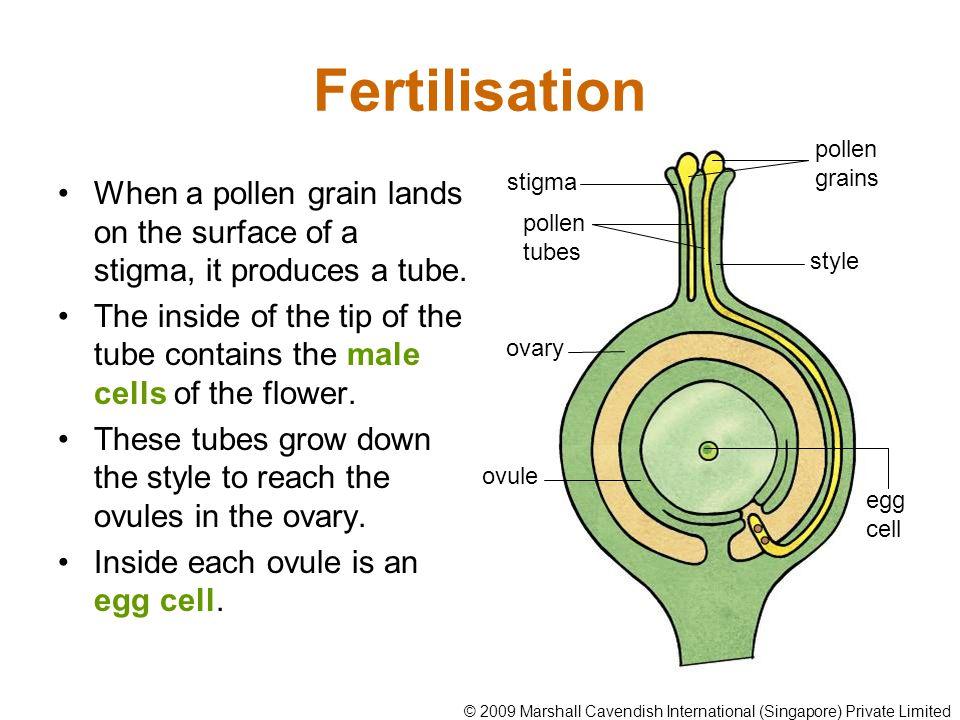 Fertilisation pollen grains. When a pollen grain lands on the surface of a stigma, it produces a tube.