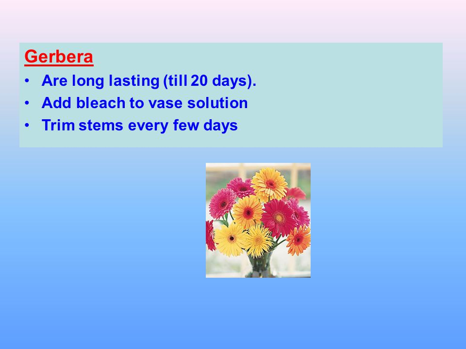 Gerbera Are long lasting (till 20 days). Add bleach to vase solution