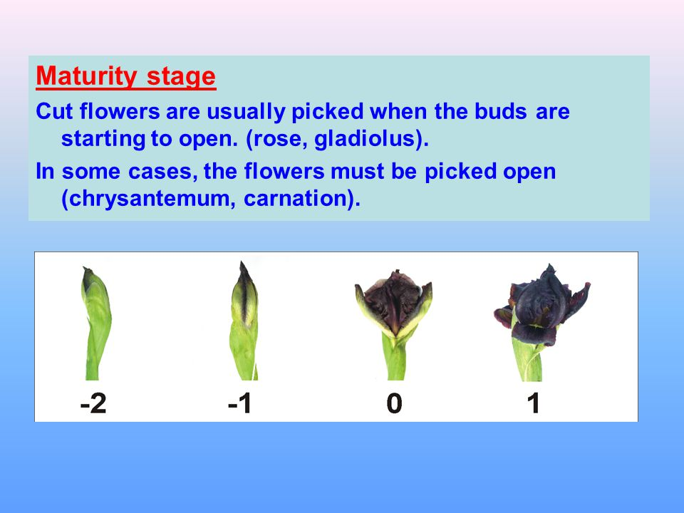 Maturity stage Cut flowers are usually picked when the buds are starting to open. (rose, gladiolus).