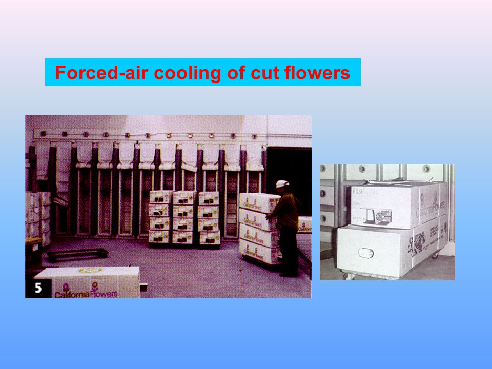 Forced-air cooling of cut flowers