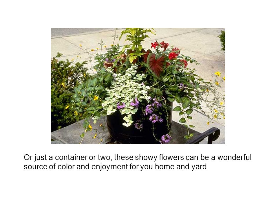 Or just a container or two, these showy flowers can be a wonderful source of color and enjoyment for you home and yard.