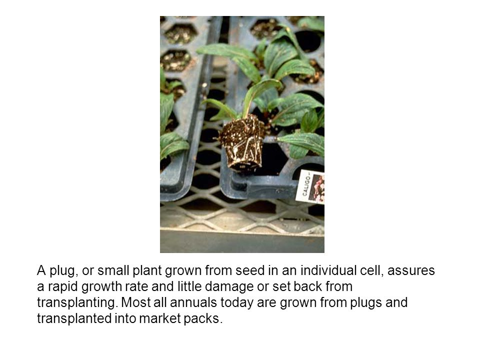 A plug, or small plant grown from seed in an individual cell, assures a rapid growth rate and little damage or set back from transplanting.
