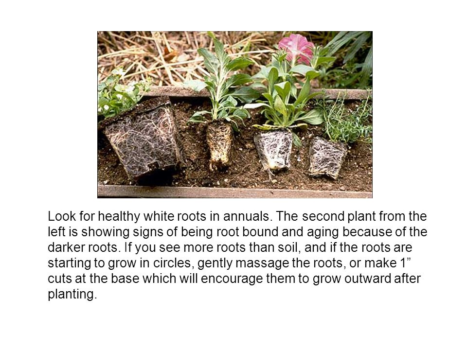 Look for healthy white roots in annuals