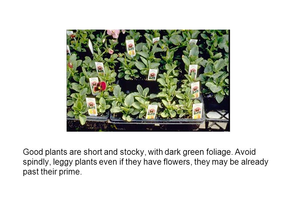 Good plants are short and stocky, with dark green foliage