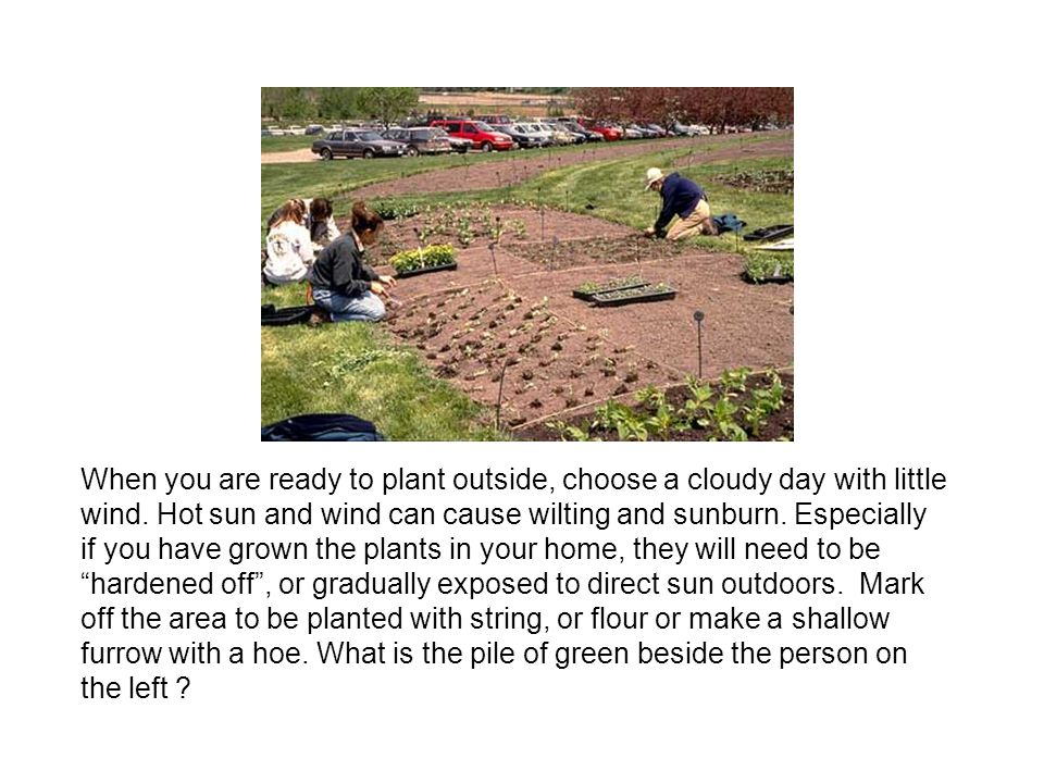 When you are ready to plant outside, choose a cloudy day with little wind.
