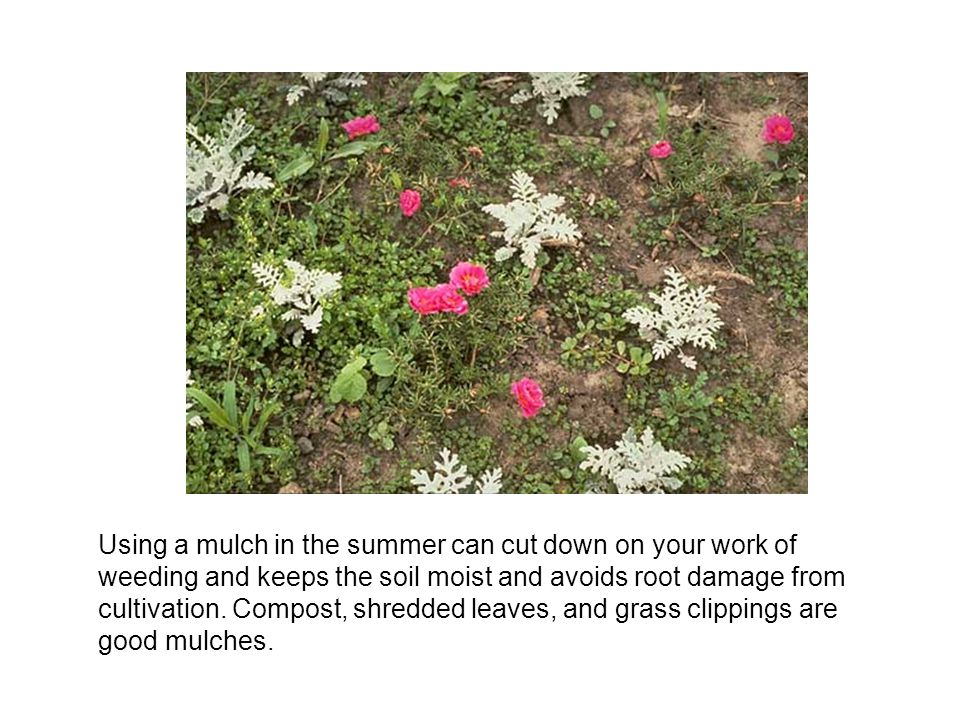 Using a mulch in the summer can cut down on your work of weeding and keeps the soil moist and avoids root damage from cultivation.