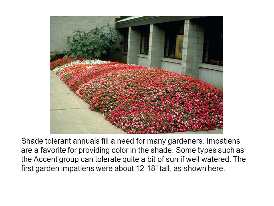 Shade tolerant annuals fill a need for many gardeners