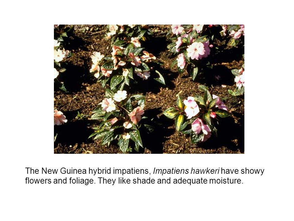 The New Guinea hybrid impatiens, Impatiens hawkeri have showy flowers and foliage.