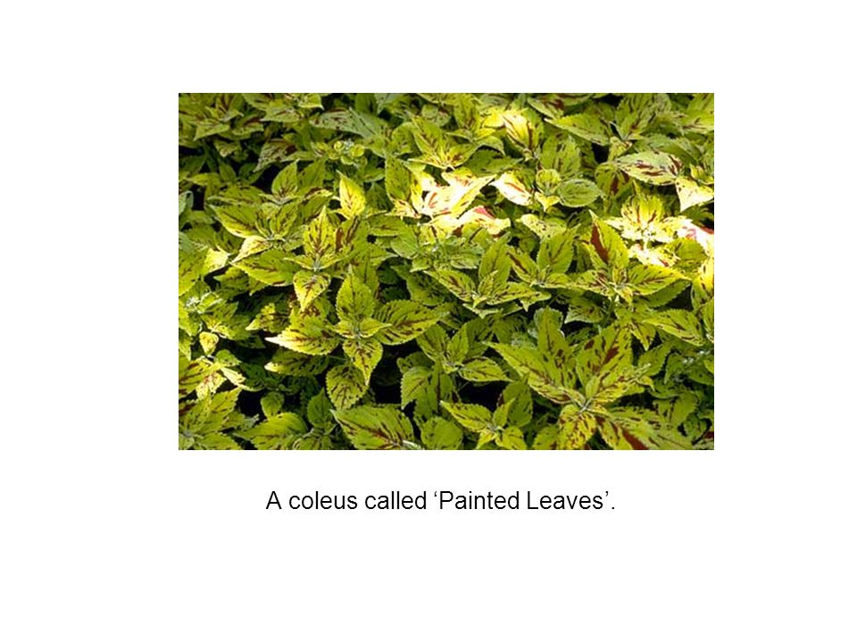 A coleus called 'Painted Leaves'.