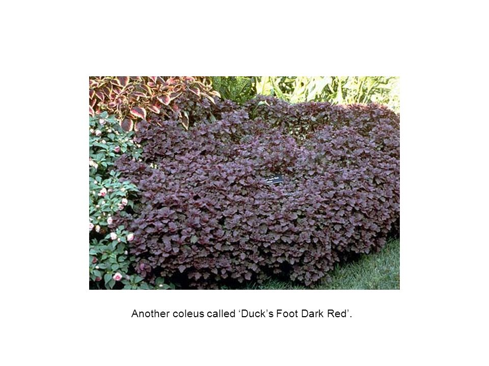 Another coleus called 'Duck's Foot Dark Red'.