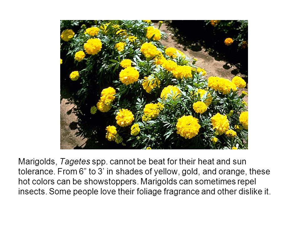Marigolds, Tagetes spp. cannot be beat for their heat and sun tolerance.
