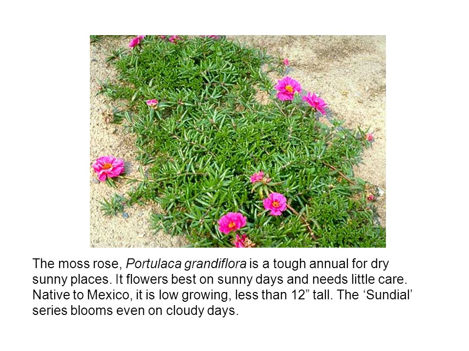 The moss rose, Portulaca grandiflora is a tough annual for dry sunny places.