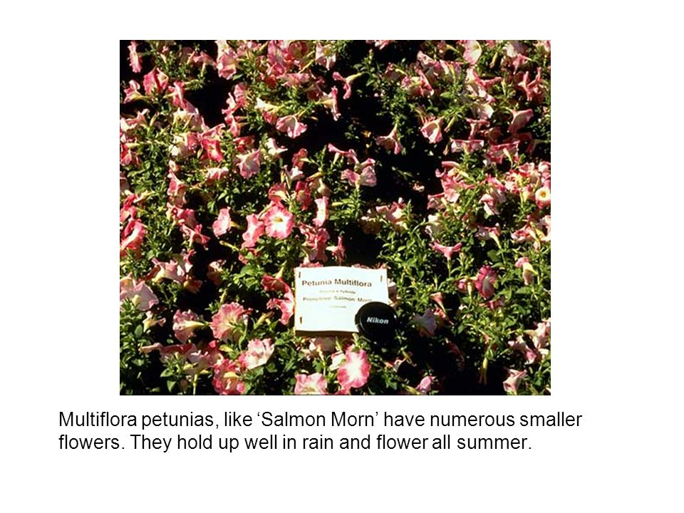 Multiflora petunias, like 'Salmon Morn' have numerous smaller flowers