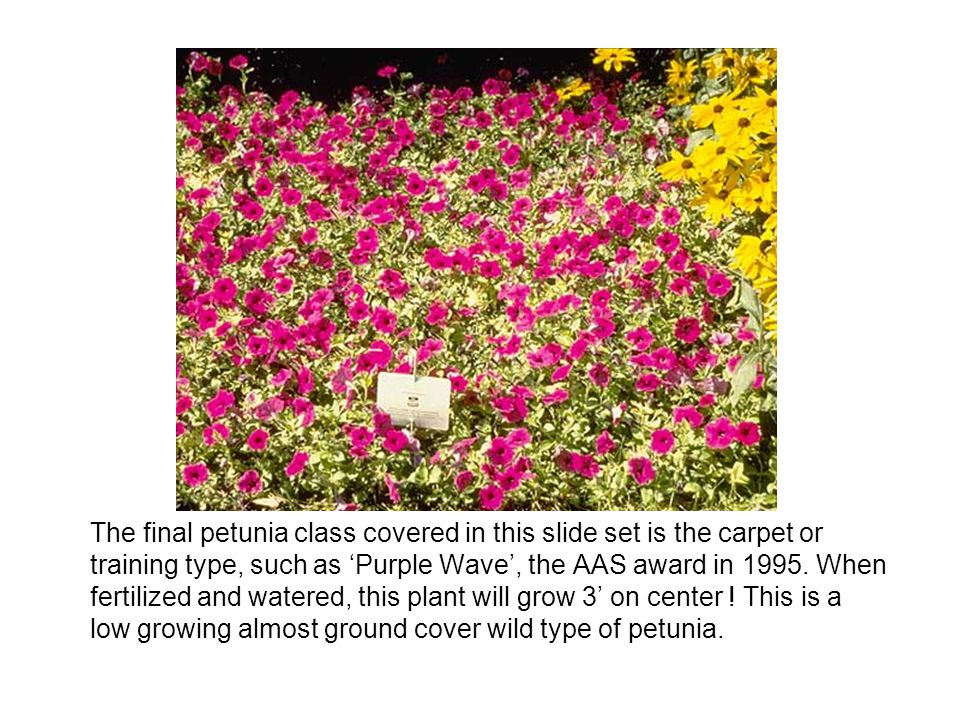 The final petunia class covered in this slide set is the carpet or training type, such as 'Purple Wave', the AAS award in 1995.