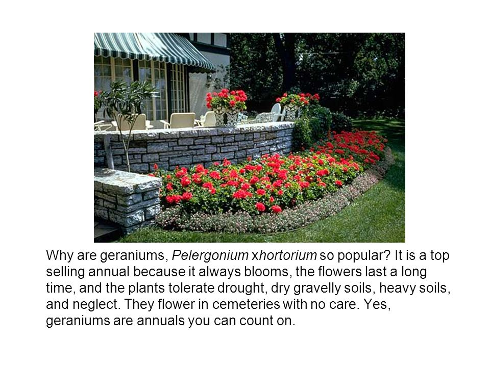 Why are geraniums, Pelergonium xhortorium so popular