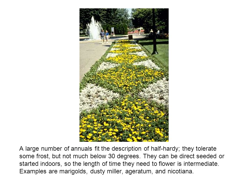 A large number of annuals fit the description of half-hardy; they tolerate some frost, but not much below 30 degrees.