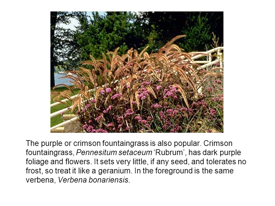 The purple or crimson fountaingrass is also popular