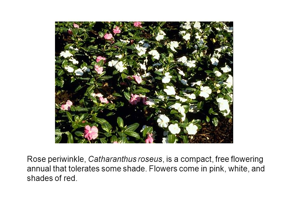 Rose periwinkle, Catharanthus roseus, is a compact, free flowering annual that tolerates some shade.